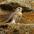 Juvenile. Note: lack of yellow cere (around beak)