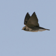 In flight. Note: square tail, plain brown upperparts and dusky breast fading to a white belly.