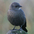 Female. Note: dark eye, thin dark bill, and drab gray-brown overall.