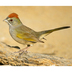 Note: rufous crown and white throat.