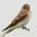 Juvenile. Note: buffy throat, yellow bill gape, and cinnamon wing-bars.