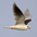 Adult in flight. Note: black shoulders and black wrist spot.
