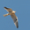 Juvenile in flight. Note: buffy wash in feathers.